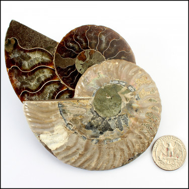 Split Ammonite