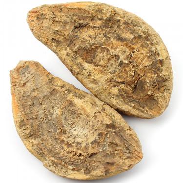 247M YR Fossil