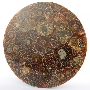 Morocco*Ammonite