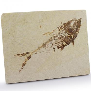 50M YR OLD FISH
