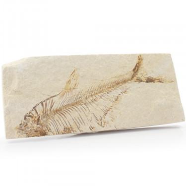 Knightia Fossil